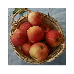 Pomme royal gala grosse