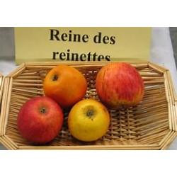 Épuisé - Pomme reine des...