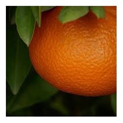 Épuisé - mandarine ortanique