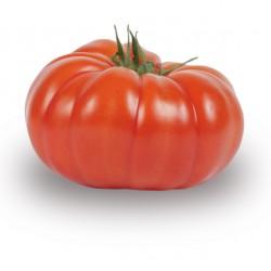 Tomate côtelée rouge