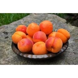 Abricot (Espagne)